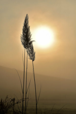 wheat and sun